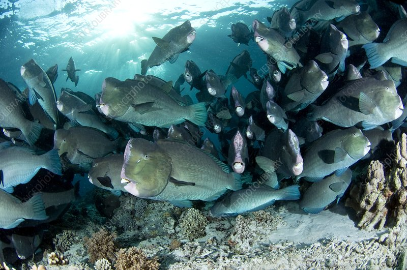 School of bumphead parrotfish