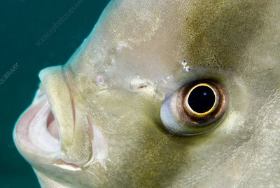 Batfish head