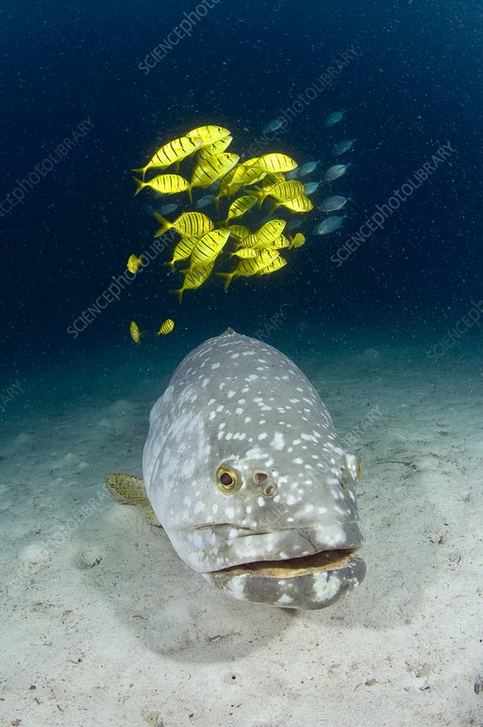 Grouper and golden trevallies