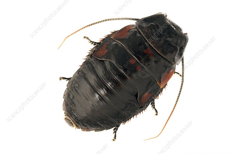 Giant hissing cockroach, dorsal view