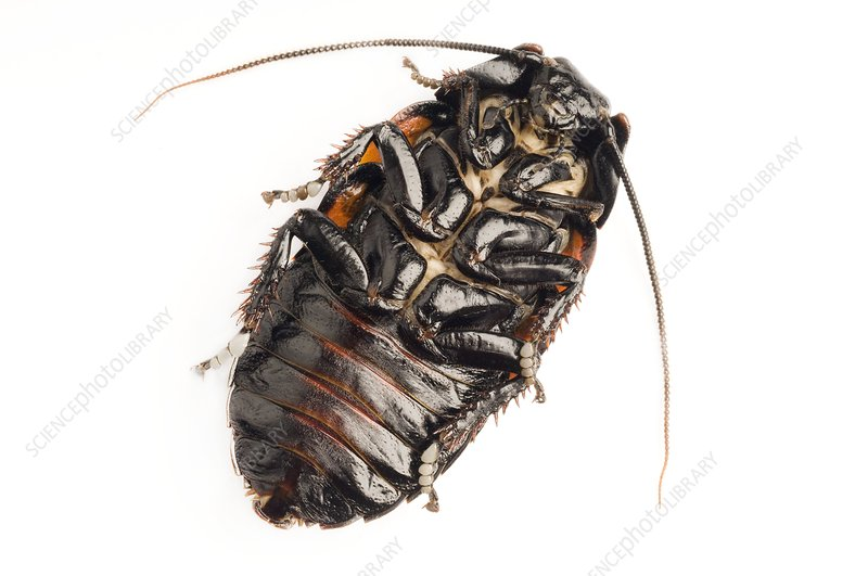 Giant hissing cockroach, ventral view