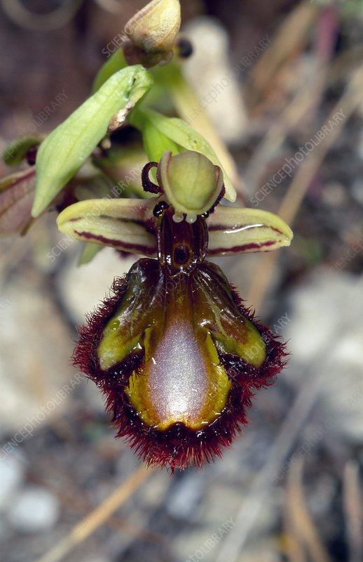 Mirror orchid (Ophrys vernixia)