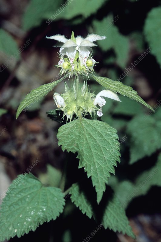 Deadnettle (Lamium flexuosum)