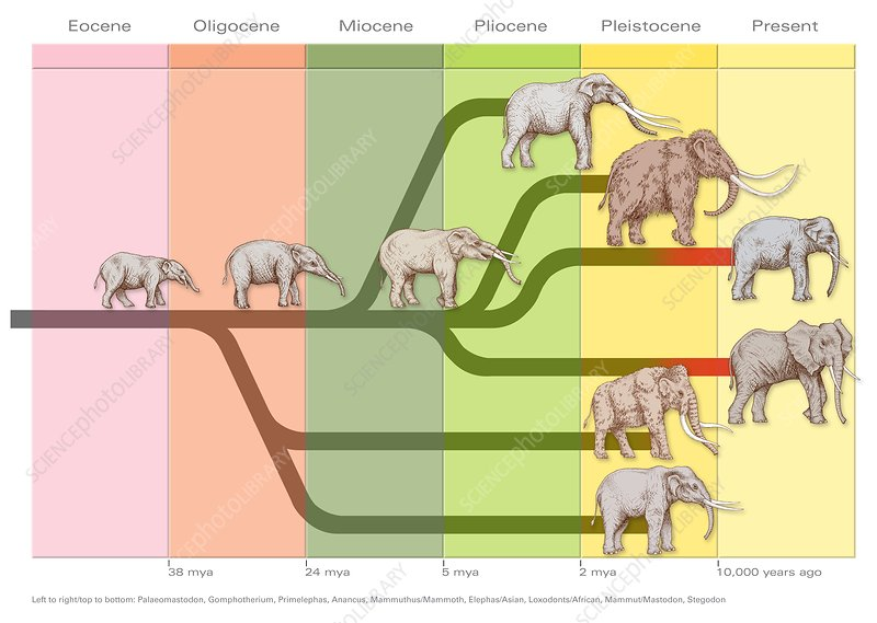 Elephant evolution, diagram