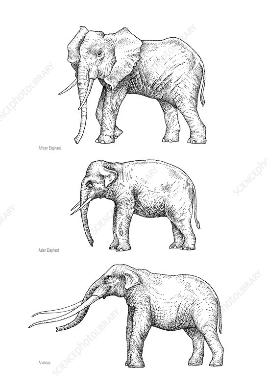 Elephant evolution, artwork