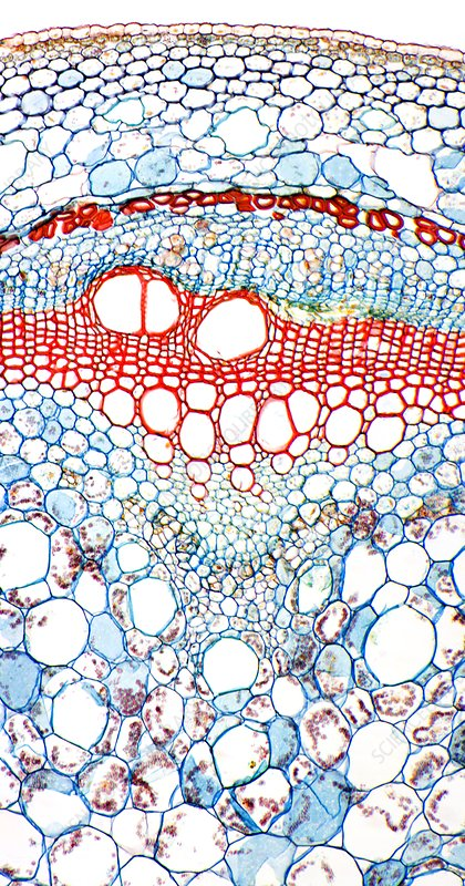 Sweet potato stem, light micrograph