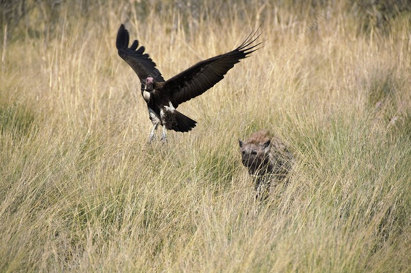 Spotted hyena chasing a hooded vulture