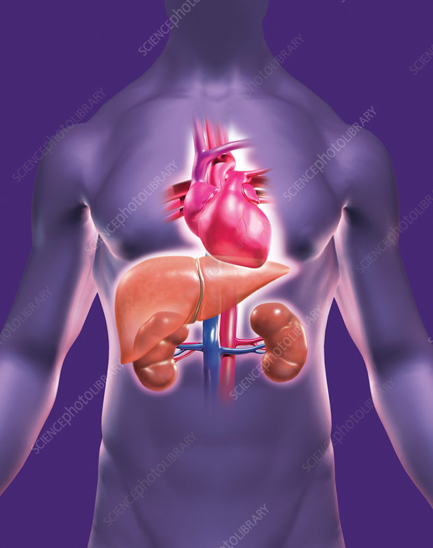 Heart Kidneys Liver Stock Image C0029836 Science Photo Library
