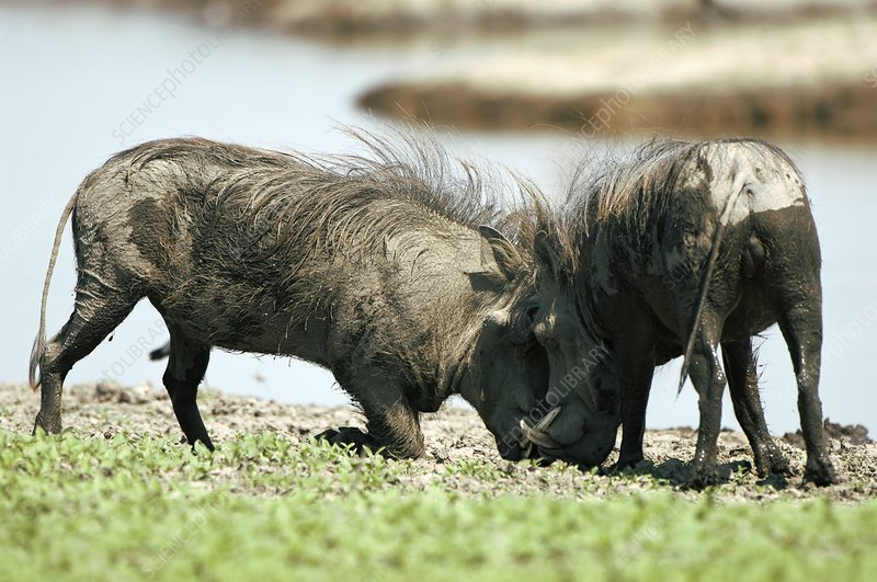 Male warthogs fighting