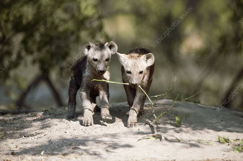 Spotted hyena pups