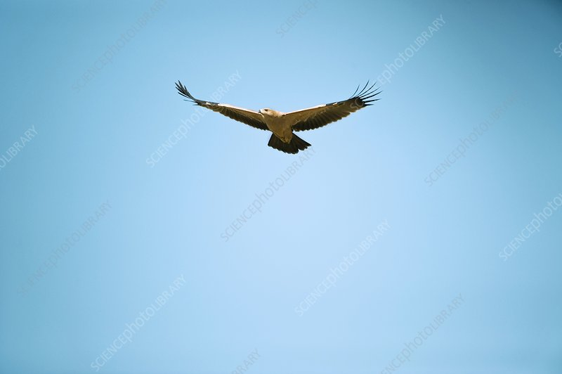 Tawny eagle in flight