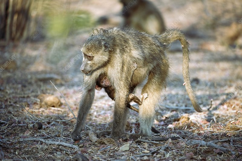 Chacma baboon carrying young