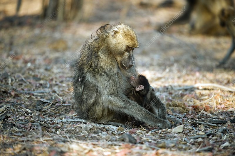 Chacma baboon feeding her infant