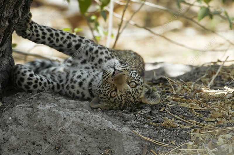 Six month old leopard cub