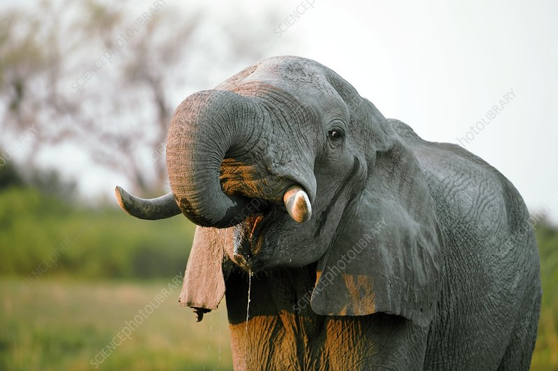 Male African elephant drinking