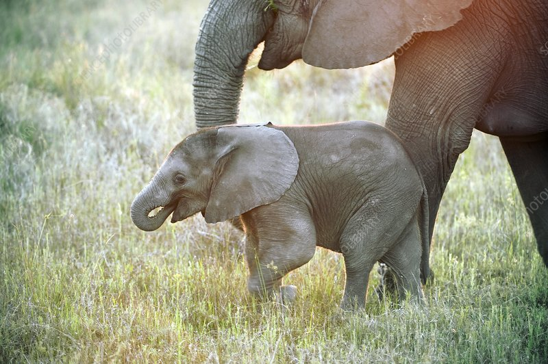 African elephant calf with its mother