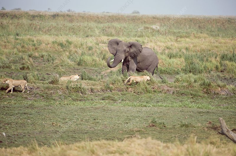 Lionesses with a male African elephant