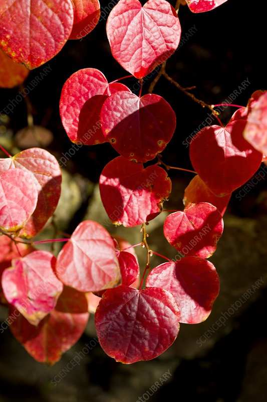Forest Pansy (Cercis canadensis)