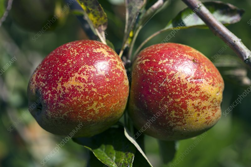 Apples (Malus 'Lord Hindlip')