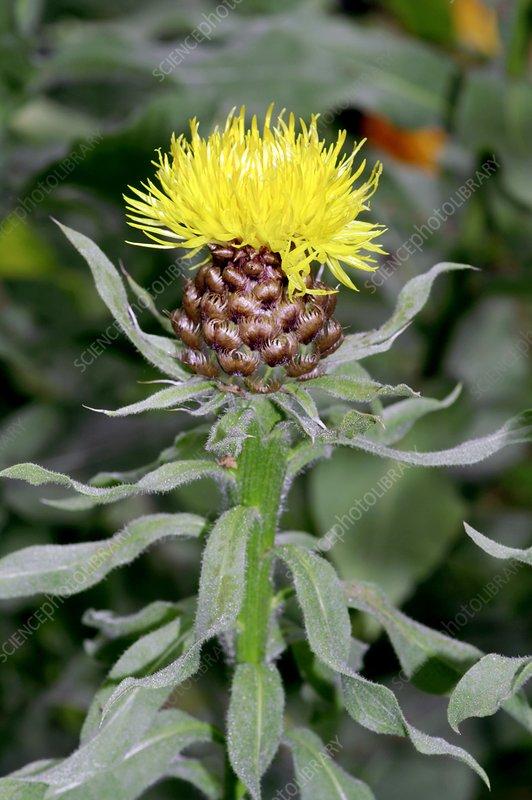 Knapweed (Centaurea macrocephala)