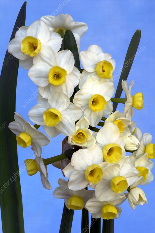 Daffodils (Narcissus 'Avalanche')