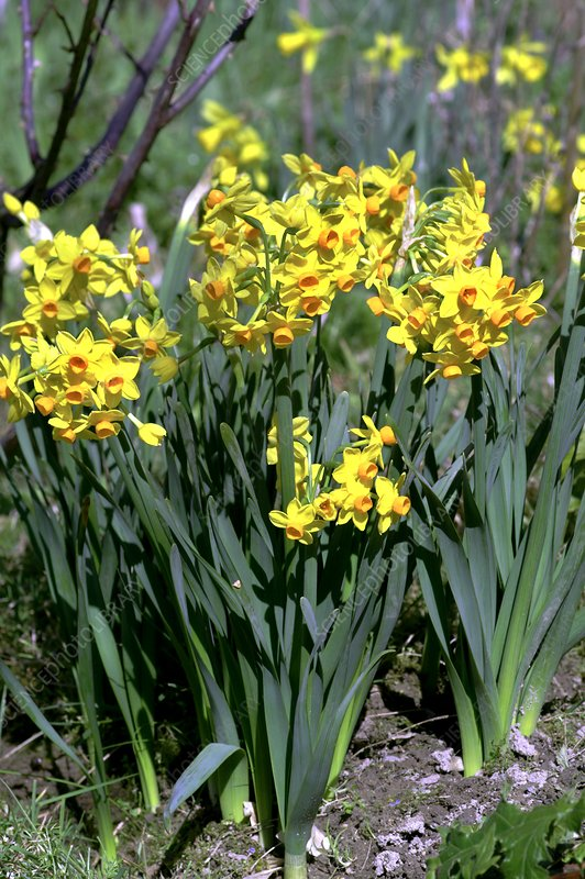 Daffodils (Narcissus 'Soleil d'Or')