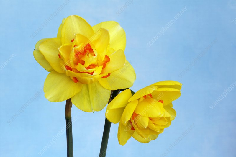Daffodils (Narcissus 'Tahiti')