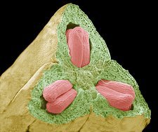 Flower ovary and ovules, SEM