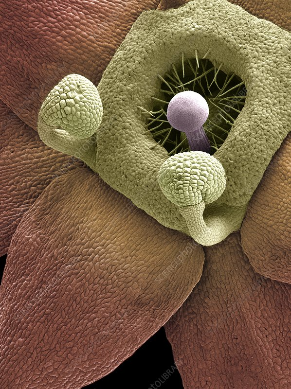 Lady's mantle reproductive parts, SEM