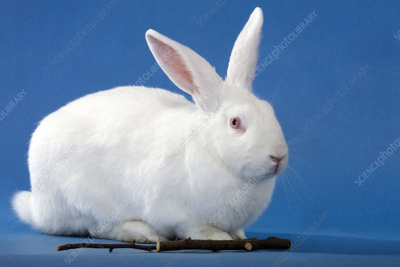 New Zealand White Rabbit Stock Image C003 1100 Science