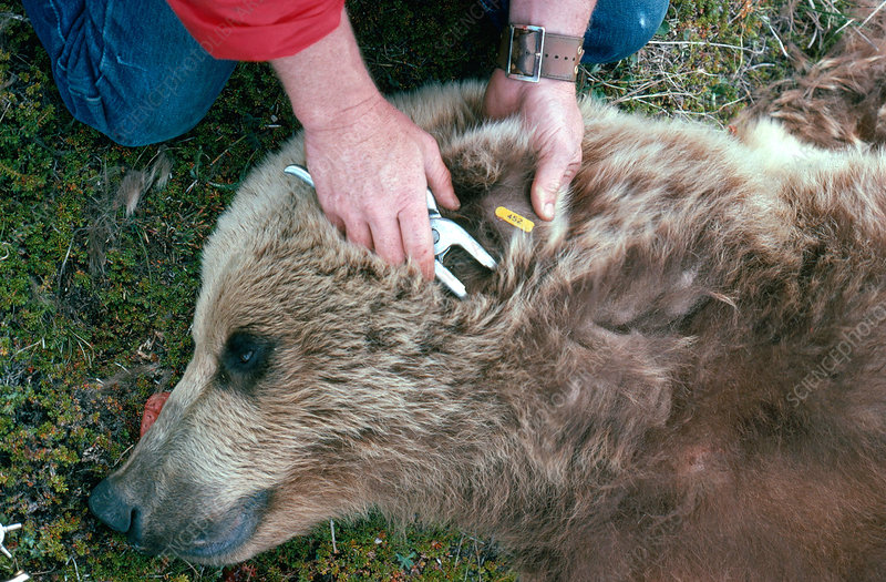 Brown Bear Research