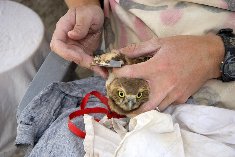 Measuring the Wing of an Owl