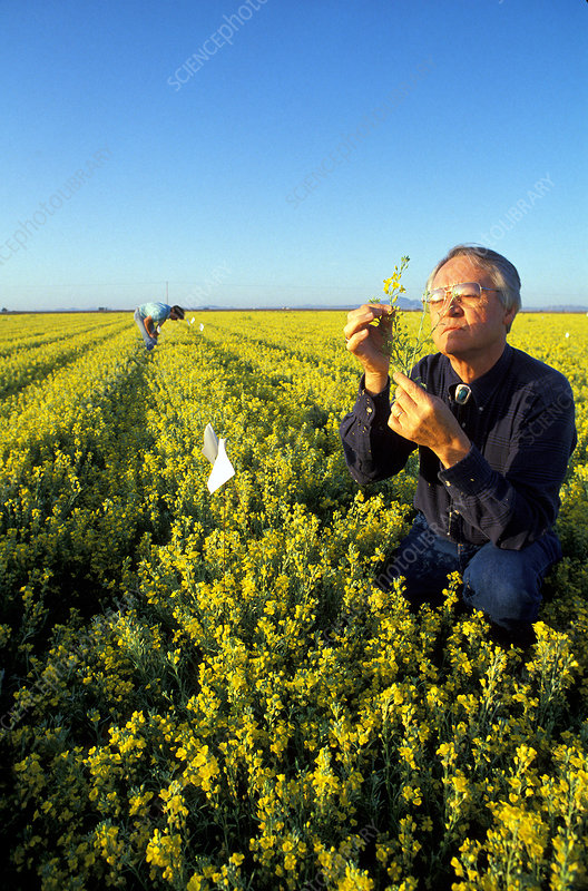 Plant biologist check lesquerella