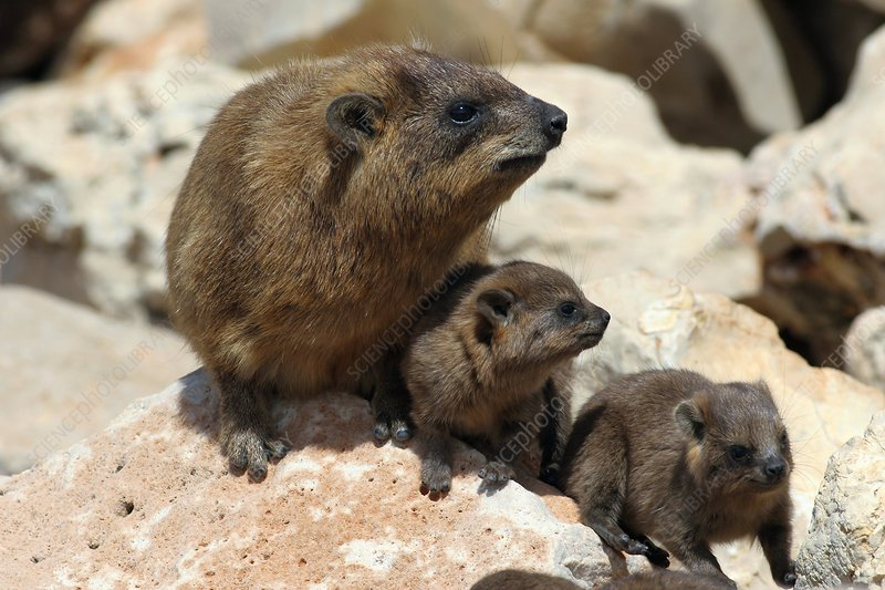 Rock hyrax and young