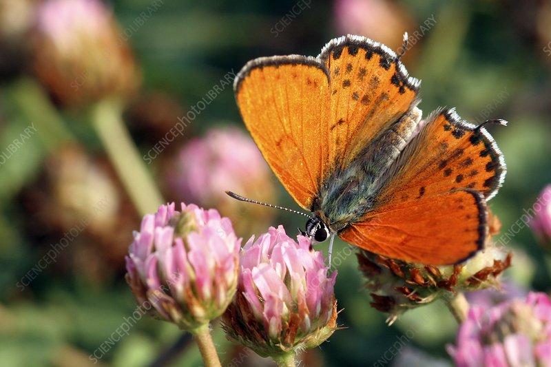 Lesser fiery copper butterfly