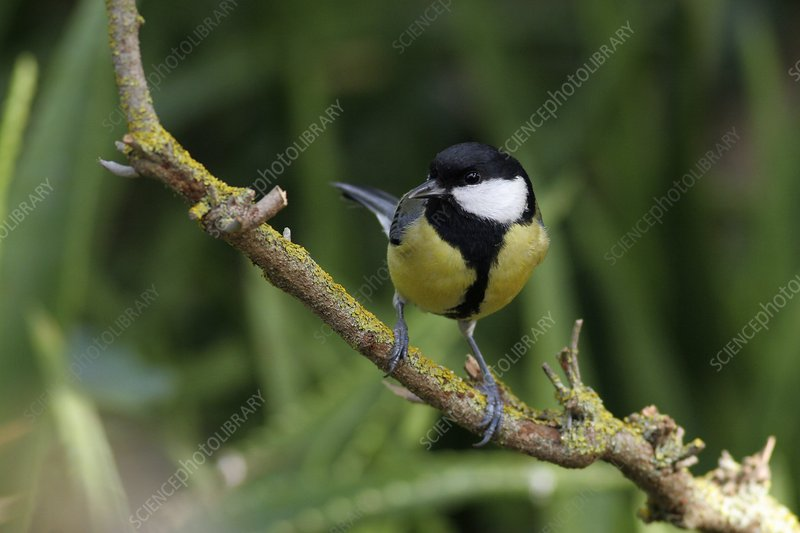 Great tit calling from a sycamore tree