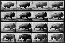 Muybridge's Bison