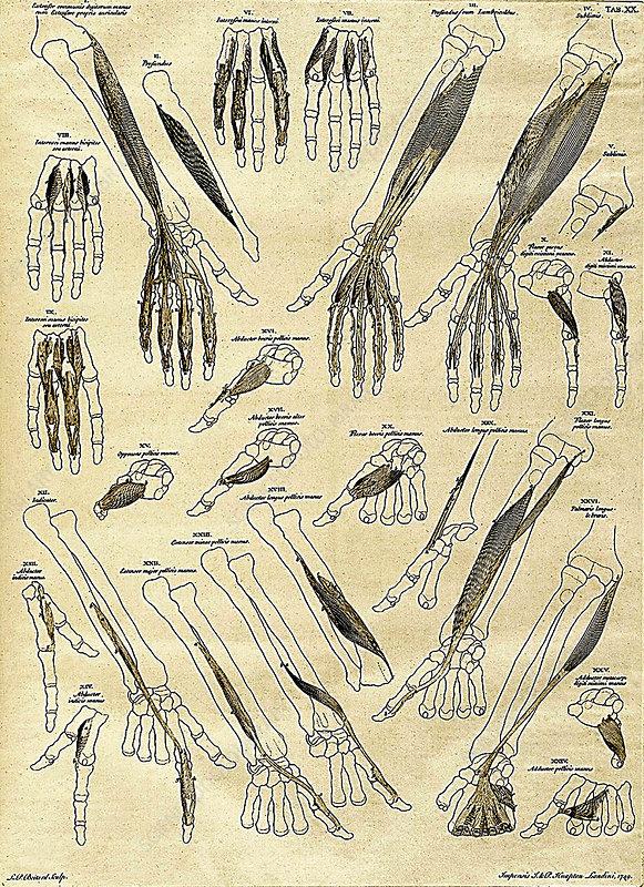 18th Century Anatomical Illustration