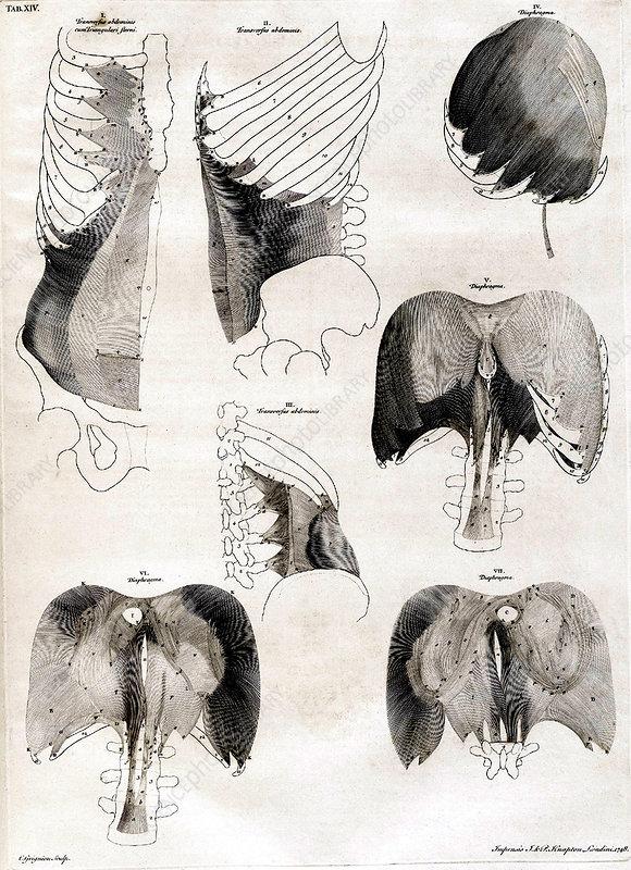 18th Century Anatomical Engraving
