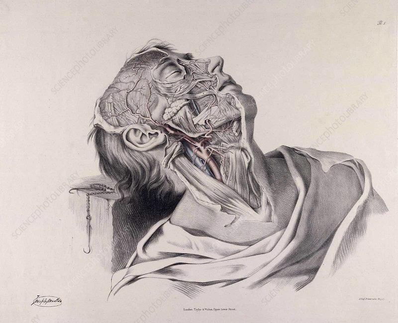 Historical Anatomical Illustration