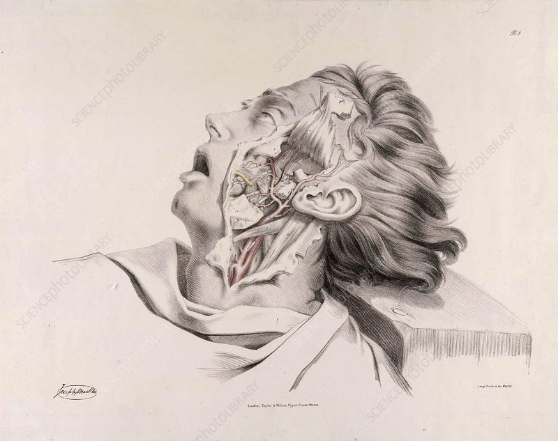 Historical Anatomical Illustration