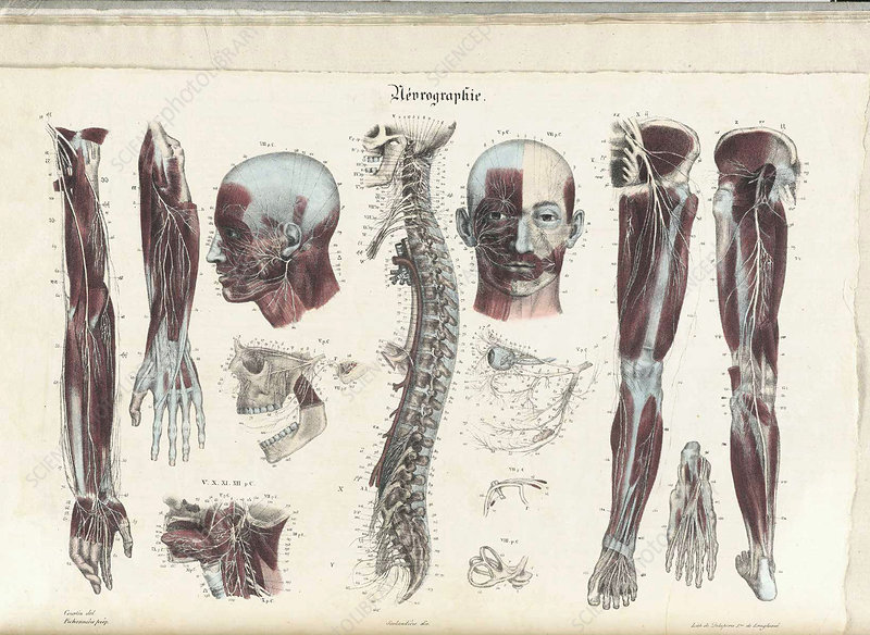 Anatomie Methodique Illustrations