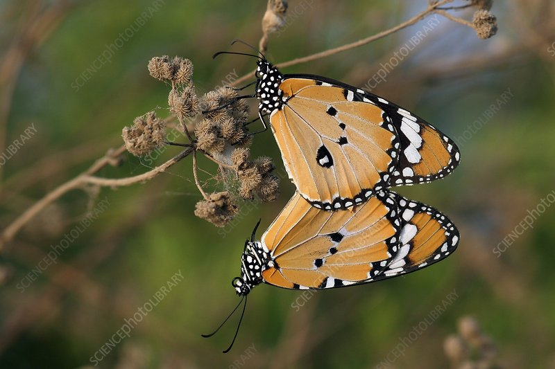 African monarch butterflies mating