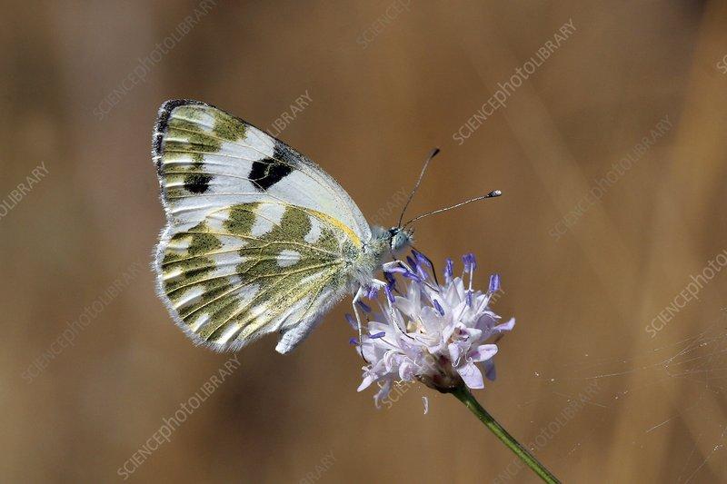 Bath white butterfly