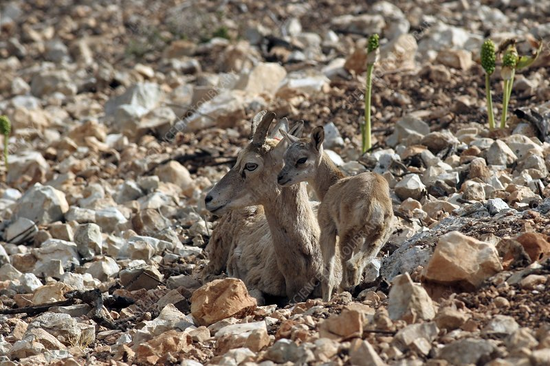 Female and young mouflon