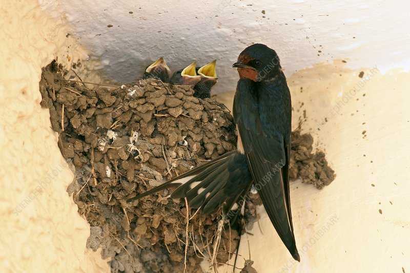 Barn swallow and hatchlings