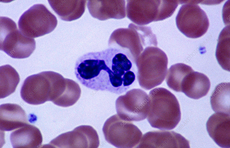 Leukocyte