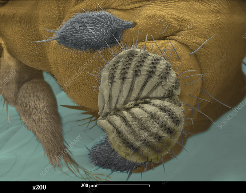 SEM of a Fruit Fly Mouth