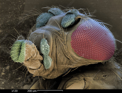 SEM of a Mutant Fruit Fly