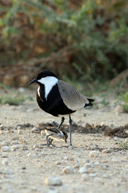 Spur-winged plover and chick